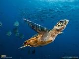 魚の群れの間をゆくウミガメ(パプアニューギニア)