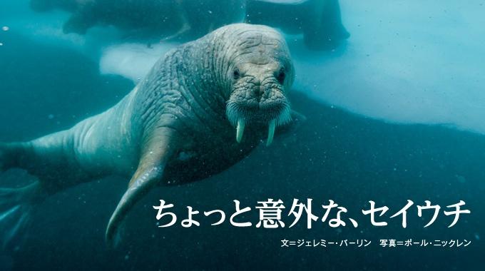 巨大な体に長い牙をもつ海の哺乳類、セイウチ。実は見た目によらず、賢く、愛情深く、音楽的なセンスもある生き物だ。
