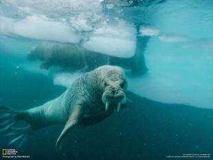 氷の下のセイウチ(グリーンランド)