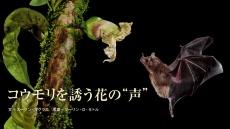 """コウモリを誘う花の""""声"""""""