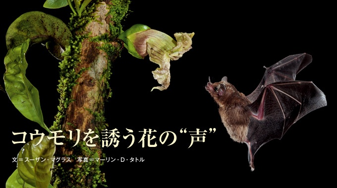 暗闇を飛ぶコウモリに、花粉を運んでもらう熱帯の花たち。コウモリの出す超音波を鮮明に反響させる工夫を凝らし、蜜のありかを知らせている。