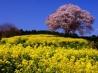 春丘の彩り(佐賀県 武雄市 馬場の山桜)