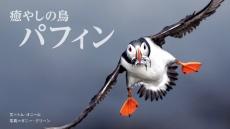 癒やしの鳥 パフィン
