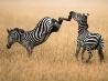 シマウマの後ろ蹴り、ケニア