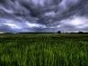 緑の麦畑、ドイツ