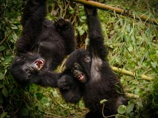 ゴリラ、ルワンダ