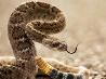 ダイヤガラガラヘビ、ビッグベンド国立公園