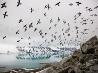 ヒメウミスズメ、スバールバル諸島