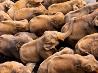 ゾウの孤児園、スリランカ