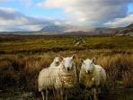スコットランドの羊