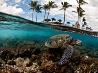 アオウミガメ、ハワイ