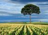 トウモロコシ畑、ブラジル