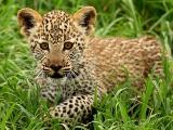 ヒョウの子、タンザニア