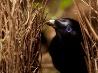 アオアズマヤドリ、オーストラリア