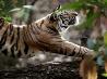 伸びをするトラ、インド