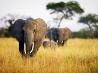 象の群、タンザニア