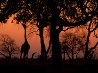 ザンビアのキリン