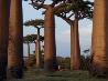 バオバブの木、マダガスカル