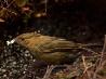 カンムリニワシドリ、パプアニューギニア