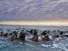 セイウチ、ノルウェー領スバールバル諸島