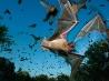 メキシコオヒキコウモリ、テキサス州