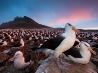 マユグロアホウドリ、フォークランド諸島