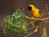 メンガタハタオリの巣作り
