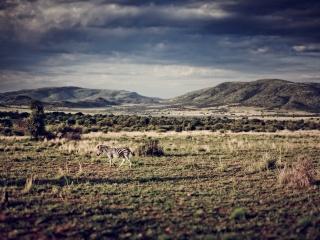 南アフリカのシマウマ