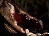 孵化を待ちかねる母ワニ、フロリダ州