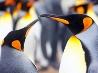 キングペンギン、フォークランド諸島