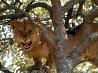 樹上のライオン、ザンビア