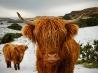 ハイランド牛、スコットランド