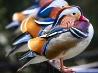 オシドリ、ワシントン国立動物園