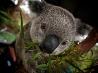 コアラ、オーストラリア