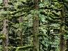 トウヒの木、アラスカ州