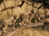 チーターの子ども、南アフリカ