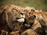 ライオンの親子、ケニア