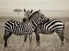 シマウマ、ケニア